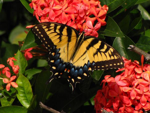 eastern-tiger-swallowtail
